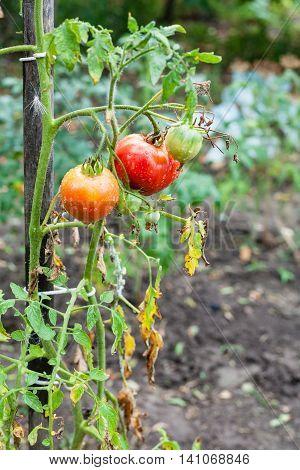 Tomato Bush On Stake In Garden After Rain