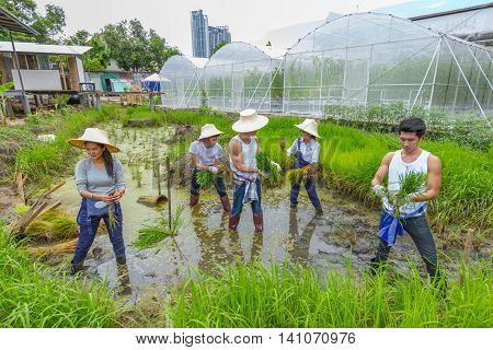 BANGKOK THAILAND - 17 JULY, 2016: Unknown young farmer planting rice sapling on rice paddy field in organic farm