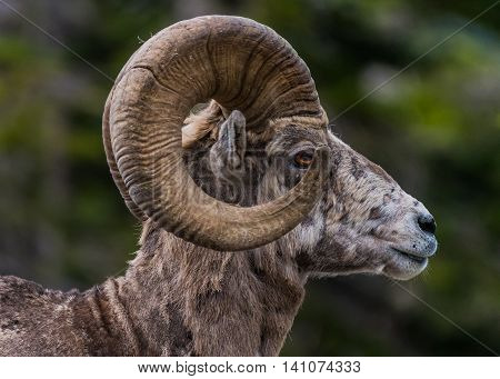 Big Horn Sheep Side View Looking Right displays the ornate shape of its large horns