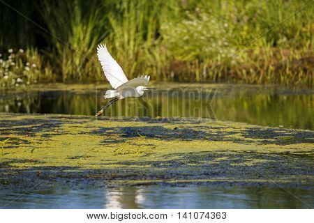 white egret in natural environment the Danube Delta romania