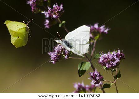 two butterflies, the brimstone one in flight