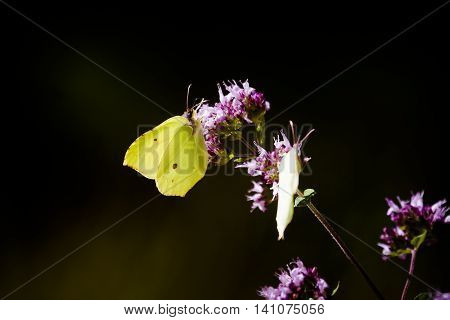 two species of butterflies pollinating a purple flower