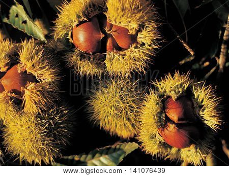 chestnut bur