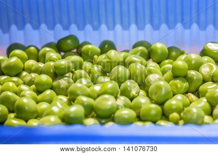 collected green peas in the blue box