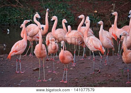 Flock of Flamingos standing on a bank
