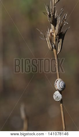 Small Snails On The Dried Plant Located Near The Beach Of The Me