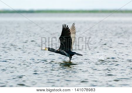 A great cormorant taking off from a lake's surface