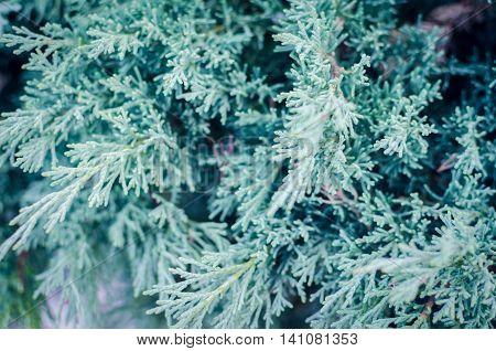 White cedar background. Green leaf texture. Tiny green leaves background. The natural texture of white cedar.