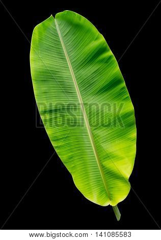 Young mild banana leaf isolated on black background File contains a clipping path.