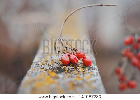 Bunch of viburnum on a wooden board