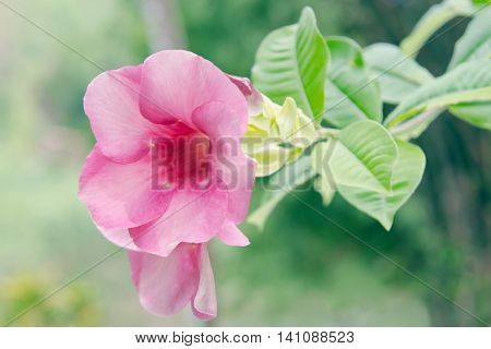 Pink Desert Rose Flower (other Names Are Desert Rose, Mock Azalea, Pinkbignonia, Impala Lily, Adeniu