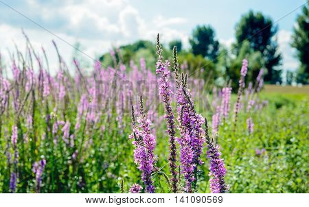 Dutch nature reserve with budding and blossoming Purple Loosestrife in the foreground and varied other wild plants in the background. It is a sunny day in the summer season.