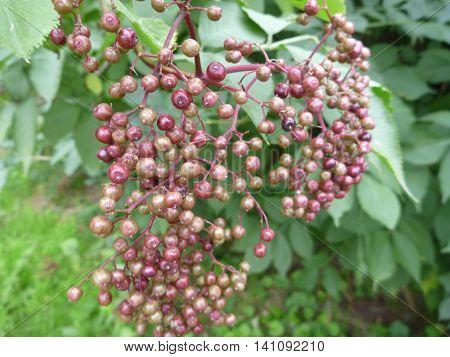 Detail Of An Unripe Elderberry Fruit