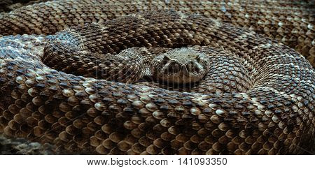 the rattlesnake curled up looking into the camera, snake closeup