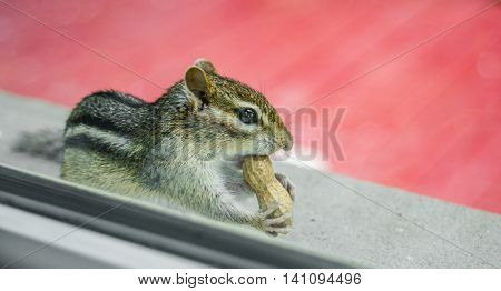 Gathering peanuts, a curious Eastern chipmunk eats peanuts while peering through the window from outside.