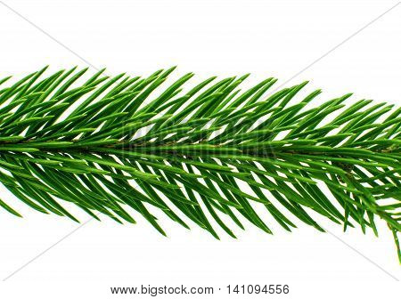 winter decoration spruce twig on white background
