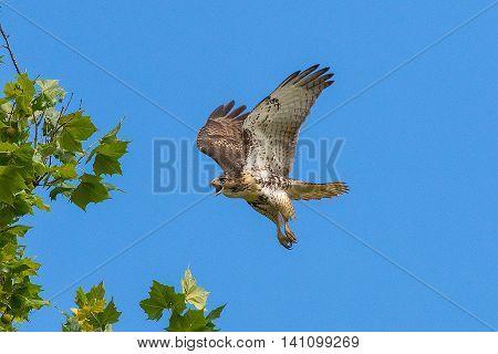Red-tailed Hawk in flight. Taken from a canoe in Kentucky
