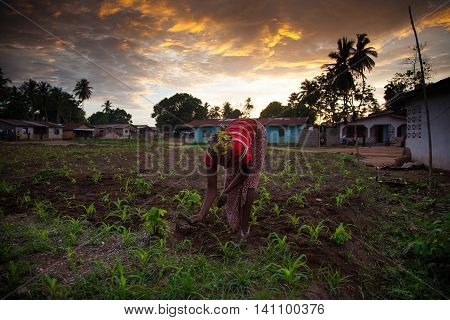 Yongoro Sierra Leone - June 01 2013: West Africa the village of Yongoro in front of Freetown young farmer works his field to get vegetables for the family