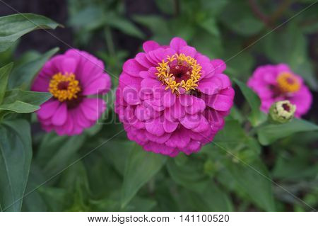 Elegant zinnia pink with yellow center flowers.