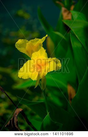 Bright yellow flowers on green leaves background. Beautiful flower in summer