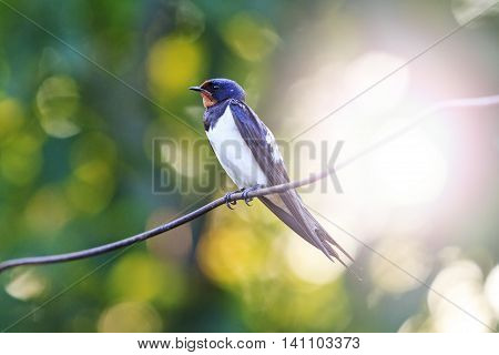 bird sitting on the wire swallow sitting on a wire, at sunset young bird, a unique moment, bright colors with sunny hotspot