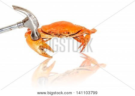 Demonstrate how to eat steamed crabs by hammered a claw on a white background.