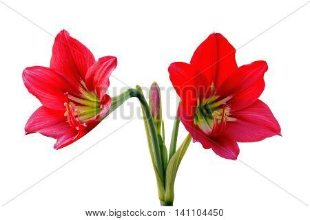 Close up red Amaryllis flower isolated on white background. File contains a clipping path.