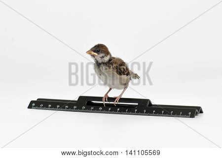Nestling sparrow with a ruler looking frightened isolated on white background