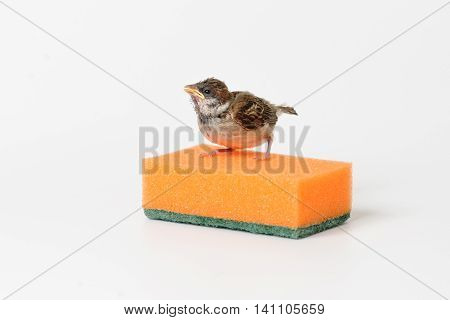 Nestling sparrow with a sponge for washing dishes isolated on white background
