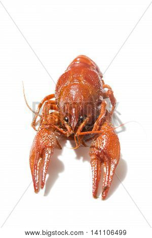 Fresh boiled red crayfish isolated on white background with shadows.