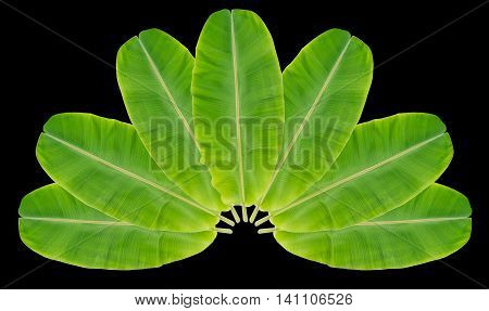 Banana leaves placed multiple overlapping leaves a semi-circle on a black background.