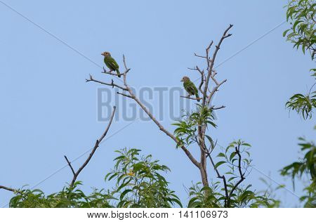 Lineated barbet birds in green perching on dried branch (Psilopogon lineatus) in Thailand, Asia