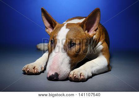 Bull terrier, portrait of cute sad purebred dog lying on blue grey background, studio shot