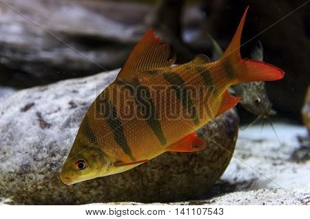 Perch fish with black stripes on scaly body, red fins and tail swims near overgrown stones, diving, underwater wildlife