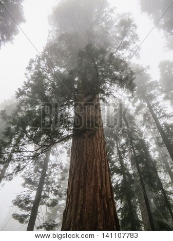 Misty giant sequoia tree in a forest