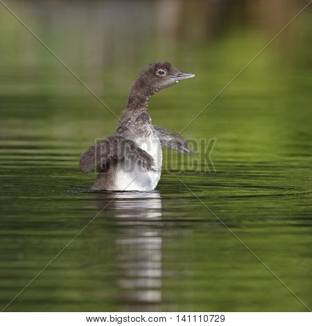 Common Loon Chick Shaking Its Wings Dry