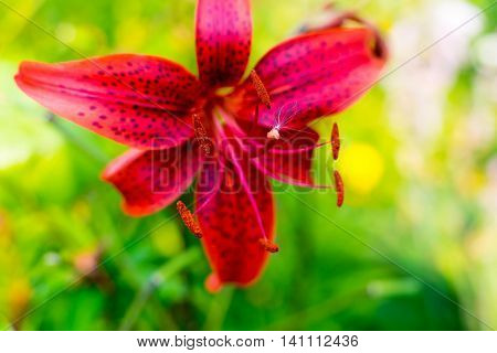 one big isolated flower of a red lily closeup on an indistinct background