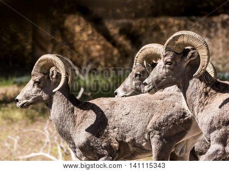 Three desert bighorn sheep rams walking together.