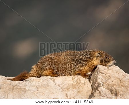 A yellow-bellied marmot taking a nap on a rock at the edge of a cliff.