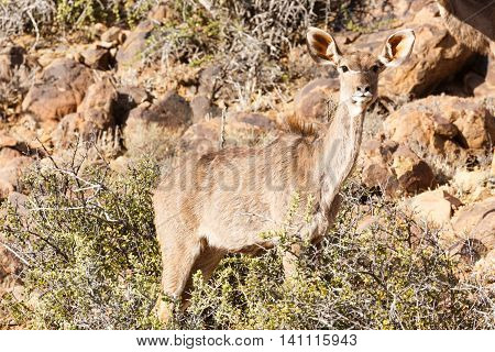 Female Kudu Hiding - Wildlife Park - Beaufort West