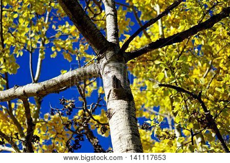 Upward view of yellow Autumn leaves against brilliant blue sky