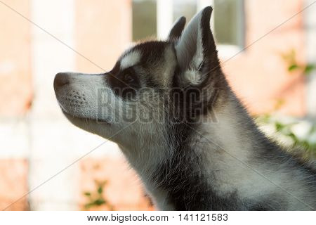 Head of cute husky puppy domestic animal with black nose little ears and gray and white soft fur on light background outdoor
