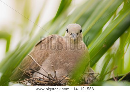 close up Dove bird sitting in the nest on a palm tree at thailand