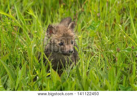 Red Fox (Vulpes vulpes) Kit Stands in Grass - captive animal