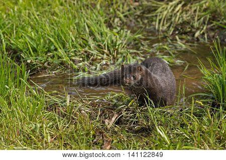 Adult American Mink (Neovison vison) Looks Up From Marsh - captive animal