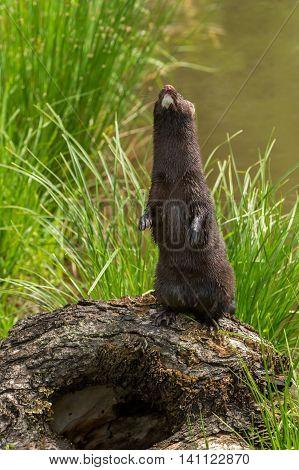 Adult American Mink (Neovison vison) Stands Up - captive animal
