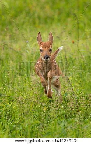White-Tailed Deer Fawn (Odocoileus virginianus) Runs Forward - captive animal