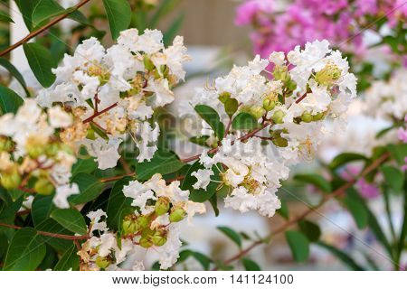 Cherry blossoms Judas tree in Turkey,white flowers.