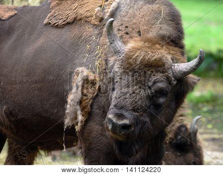 European bison detail of head in summer time
