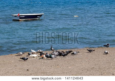 Ringed Plover Charadrius hiaticula birds eating on the beach